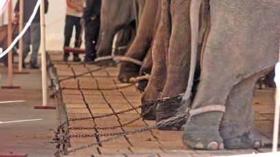 Elefantes encadenados